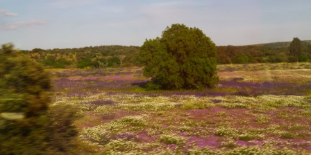 Carpets of wildflowers - Extremadure spring