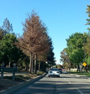 Dying redwoods in the median strip