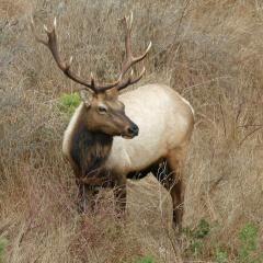 tule-elk